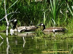 Geese, Water, Wildlife, Photo, Photography, Digital Download, Download, Digital, Nature, Arkansas by LittleMomentsPhotos on Etsy