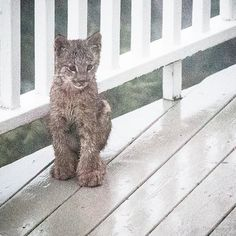Man Wakes Up To Find A Family Of Lynx Playing On His Porch - The Dodo