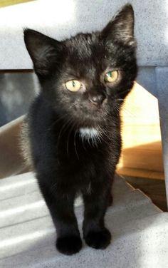 Peppa #adoptacat #catsprotection www.wearvalley.cats.org.uk #CPBlackcats #darlington