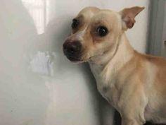 Chihuahua dog for Adoption in Martinez, CA. ADN-751982 on PuppyFinder.com Gender: Male. Age: Adult