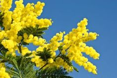 Mimosa tree, lots of them around Cannes