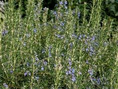 "Upright Rosemary Plant- Two (2) Live Plants - Not Seeds -Each 4"" to 7"" Tall- In 3.5 Inch Pots. #Rosemary"