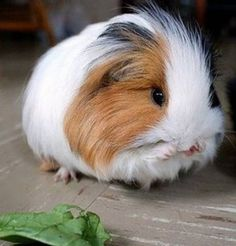 cute guinea pigs// I've always wanted one but I'm severely allergic. :-(