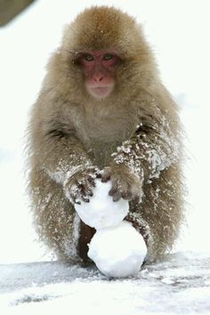 snow monkey making snowballs