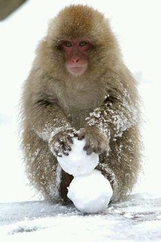 snow monkey making snowballs