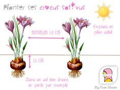 Le crocus sativus, la fleur à safran, conseils pour le planter