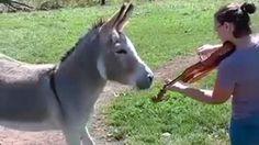 Quando l'asino sente il suono del violino rimane ad ascoltare e poi mostra la sua gioia mettendosi a cantare... alla sua maniera ° twitter@fulviocerutti °