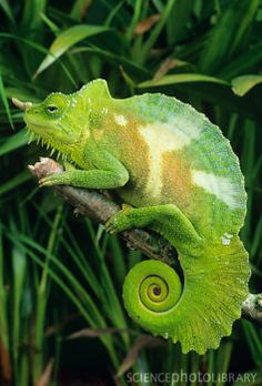 Four-horned chameleon (Chamaeleo quadricornis) male perching on a branch. The males of this species have between two and six horns and brightly coloured patches of skin. Four-horned chameleons, also known as Cameroon bearded chameleons, are found in the mountainous forests of Cameroon and Nigeria. Credit: DAVID AUBREY/SCIENCE PHOTO LIBRARY