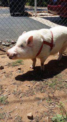 Adult Mini Pig