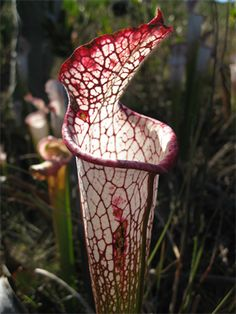 "Six species of pitcher plants (Sarracenia) are found in Florida's wetlands, with the greatest concentration found from Franklin County to Escambia County. The unique plant is carnivorous, attracting and trapping insects that decompose in the plant's liquid, creating a nitrogen-rich ""fertilizer."" England and Japan both have gardens that feature North American pitcher plants, and they are a major attraction. According to the Florida Department of Environmental Protection, pitcher plant habitat…"