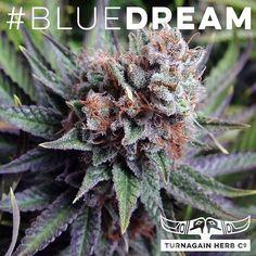 Recently returned from a trip #Colorado for some meet and greets talking up the #industry. Meet #BlueDream: #Blueberry #Indica + #Sativa #Haze. #THCo #TurnagainHerbCo #medicalmarijuana #GirdwoodTHC #marijuana #cannabis #mmj #medicalcannabis