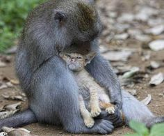 Monkey snuggling wiht Kitten