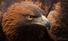 Photograph Mongolian golden eagle by Florian Warnecke on 500px