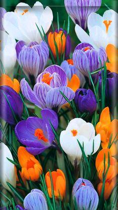 Crocus Wallpaper... By Artist Unknown... Beautiful Flowers Pictures, Beautiful Rose Flowers, Flower Pictures, Exotic Flowers, Amazing Flowers, Pretty Flowers, Purple Flowers, Flower Iphone Wallpaper, Flowery Wallpaper