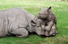 baby rhino just hanging with mom