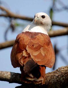 Photo: El águila azor indonesia (Nisaetus alboniger) Es un ave rapaz diurna, se reproduce en la península de Malaca, Sumatra y Borneo. Es un ave de bosques abiertos, aunque las formas insulares prefieren una mayor densidad de árboles. Construye el nido de ramas en un árbol y pone un solo huevo.  Copyright : Serkan Mutan  #HAWK #Bird #águila.