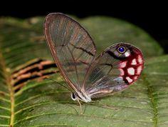 - cithaerias granate y blanca - #mariposas