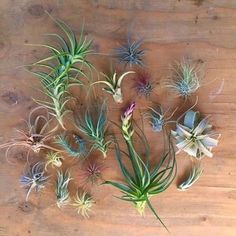 When you purchase this listing, you will receive 20 Tillandsia air plants from the following list.  You will receive multiples of the plants