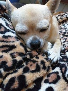 White Chihuahua, Teacup Chihuahua, Teacup Puppies, Chihuahua Love, Chihuahua Puppies, Chihuahuas, Beverly Hills Chihuahua, Dog Training, Training Tips