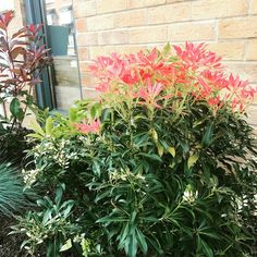 Pieris Japonica Mountain Fire. Also called Andromeda