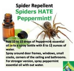 Spider Repellent - I rubbed peppermint oil on the exterior window frames & haven't seen a spider web in months (& they were a daily battle before this! Household Cleaning Tips, Cleaning Recipes, House Cleaning Tips, Household Pests, Cleaning Items, Household Cleaners, Natural Spider Repellant, Spider Spray, Bug Spray Recipe