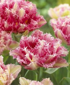 "Tulip' Cool Crystal' - A Peony flowering Tulip that looks like a large scoop of raspberry and cream sorbet. Height 16-18"". Zones 3-7"