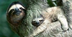 Who doesn't love a good old-fashioned hang sesh? - Brown-throated Three-toed Sloth