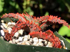 SUCCULENT~ Aloe Hybrid Seedling #2 ( no roots), Haworthia | eBay