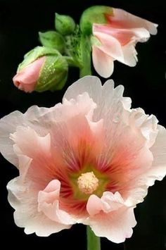 Hollyhocks - had alot of these around childhood home. Brings back memories. So beautiful