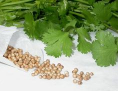 Cilantro - What is Cilantro? Cilantro (sih-LAHN-troh) is the Spanish word for coriander leaves. It is also sometimes called Chinese or Mexican parsley. Technically, coriander refers to the entire plant. It is a member of the carrot family. Cilantro Herb, Coriander Cilantro, Fresh Coriander, Coriander Seeds, Parsley, Herb Seeds, Garden Seeds, Oil Garden, Medicinal Plants