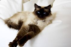 8 Friendly Facts About Ragdoll Cats | Mental Floss