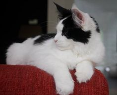Maine Coon, Black Solid & White (n 09). Pillowtalk Sweet Domino Cattery, Maine Coon, Best Friends, Kittens, Bestfriends, Kitty Cats, Kitten, Baby Cats
