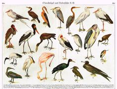 "Meyers' Lexicon - ""GSORCHVOGEL"" (Birds) - Lithograph - c1890"