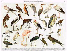 "Meyers' Lexicon - ""GSORCHVOGEL"" (Birds) - Lithograph - c1890"