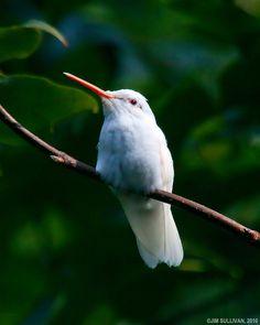 Albino Ruby Throated Hummingbird