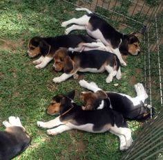 beagle puppies in a pen