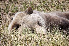 Grizzly Bear Tundra Nap | Flickr - Photo Sharing!