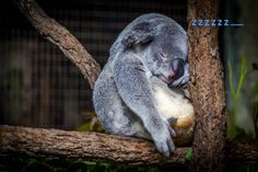 Koala facts - Fun facts about Koalas. Koala males are larger than females. koalas fur is coarse and repels water to keep them dry in rain. Cute Baby Animals, Funny Animals, Wild Animals, Morning Message For Her, Morning Messages, Social Anxiety, Anxiety Humor, Savages, Koalas