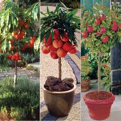 Potted Dwarf Peach Tree Grow Peaches