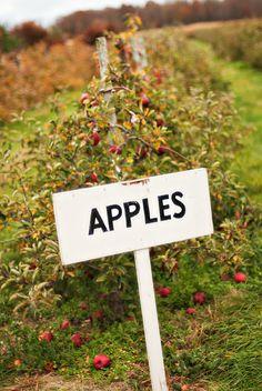 ♫ down the farm X ღɱɧღ Apple Farm, Apple Orchard, Apple Tree, Red Apple, Fresco, Apple Corps, Apple Valley, Apple Seeds, Autumn Trees