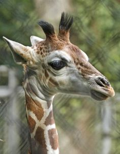 Misawa, a giraffe born Aug. 6 at Woodland Park Zoo, pictured in a photo provide by the zoo. Photo: Dennis Dow/Woodland Park Zoo
