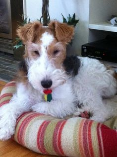 Enjoying a raspberry. Fox Terriers, Wirehaired Fox Terrier, Wire Fox Terrier, Airedale Terrier, Terrier Dogs, I Love Dogs, Cute Dogs, Bedlington Whippet, Wire Haired Terrier