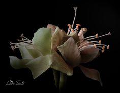 amaryllis cipria