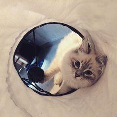 The Queen: Holliday Mur Amur. I gatti di Siberiani di Grande Inverno Grande, Sleep, Eyes, Winter Time, Cat Eyes