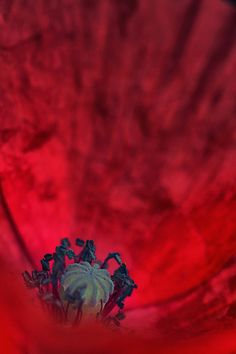 poppy in its hell by jesus daniel #flowerphotography #photography
