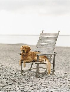 This golden retriever is at the beach, relaxing and watching the world go by.