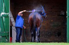 'Black Caviar', uno de los caballos participantes en el Royal Ascot, es atendido por su cuidador después de una de las carreras