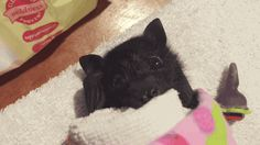 baby bat (this is the cutest thing i've ever seen in my entire damn life)