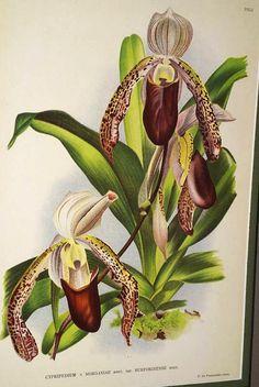 Lindenia Limited Edition print Paphiopedilum Cypripedium Morganiae Orchid Art B4      $15.31