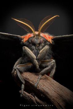 Eupackardia calleta silk moth, Igor Siwanowics - Terrifying! Mothra!